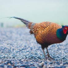 The cottage's friendly pheasant!
